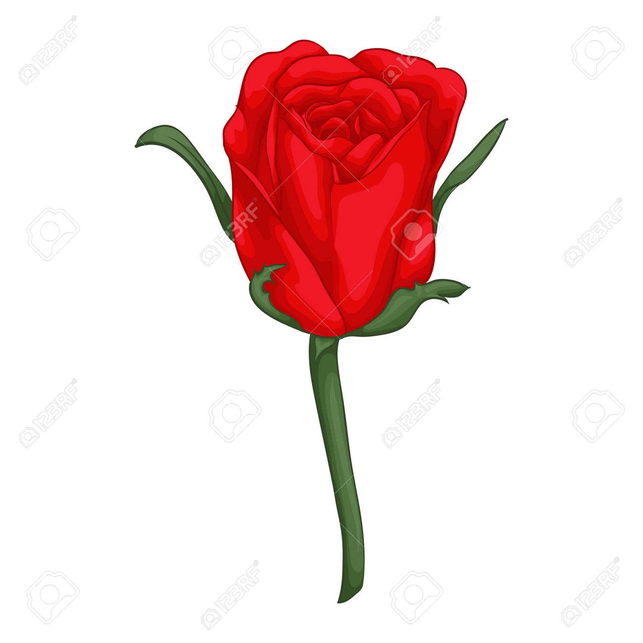 Schöne Rote Rose Isoliert Auf Weißem Hintergrund. Für Grußkarten Und  Einladungen Der Hochzeit, Geburtstag