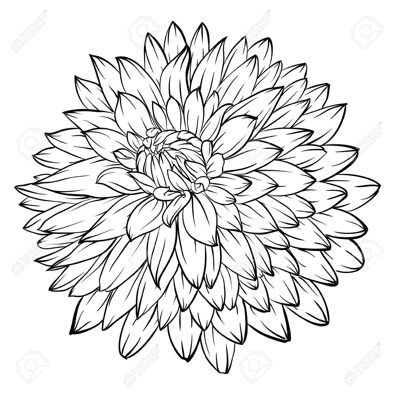 Beautiful Monochrome Black And White Dahlia Flower Isolated On Royalty Free Cliparts Vectors And Stock Illustration Image 50874455