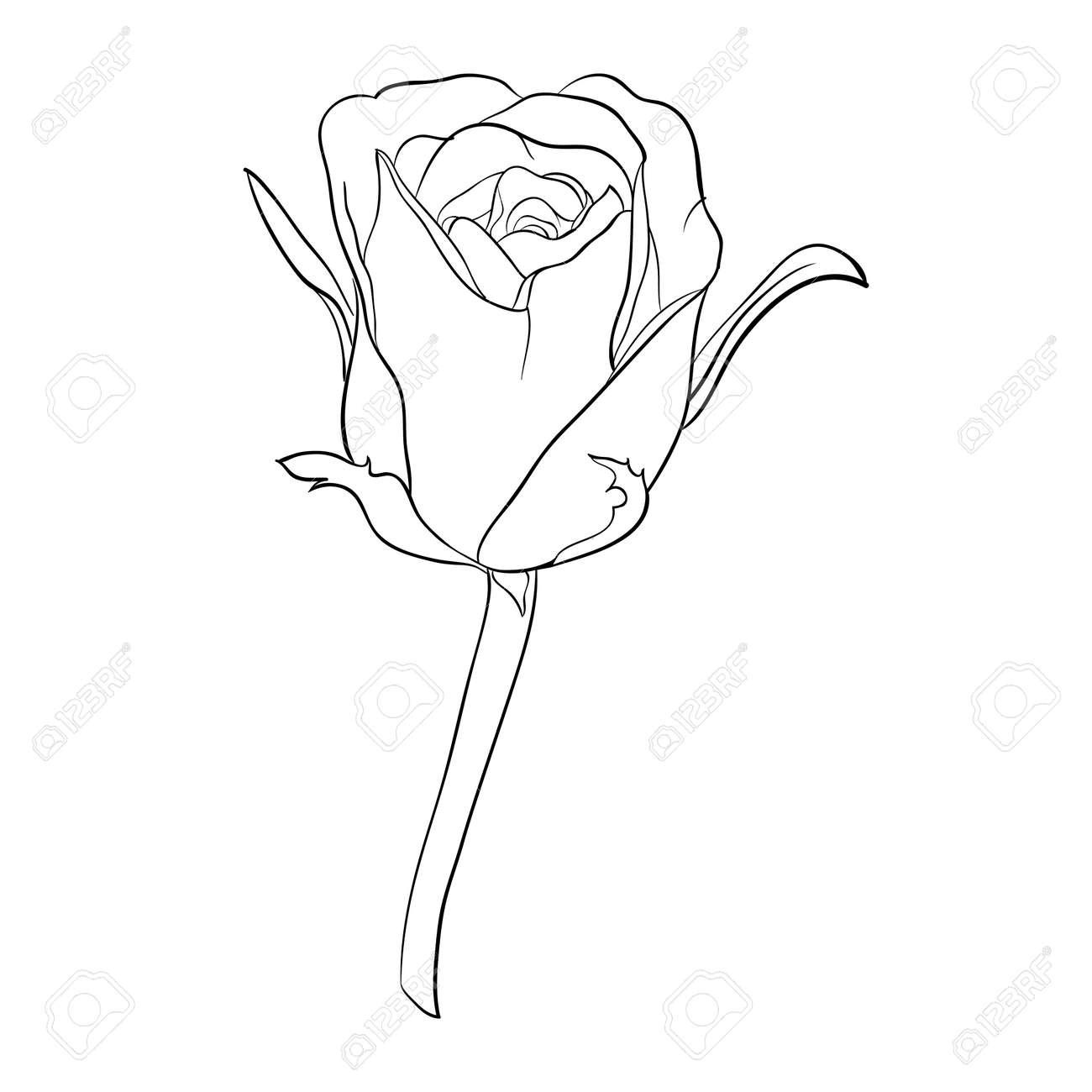 Vettoriale Bella Bianco E Nero In Bianco E Nero Rosa Isolato Su