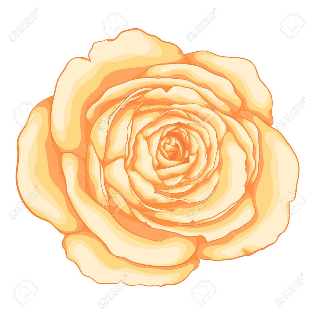 Bella Rosa Isolato Su Sfondo Bianco Per Biglietti Di Auguri E Inviti Del Matrimonio Compleanno San Valentino Festa Della Mamma E Altre Feste