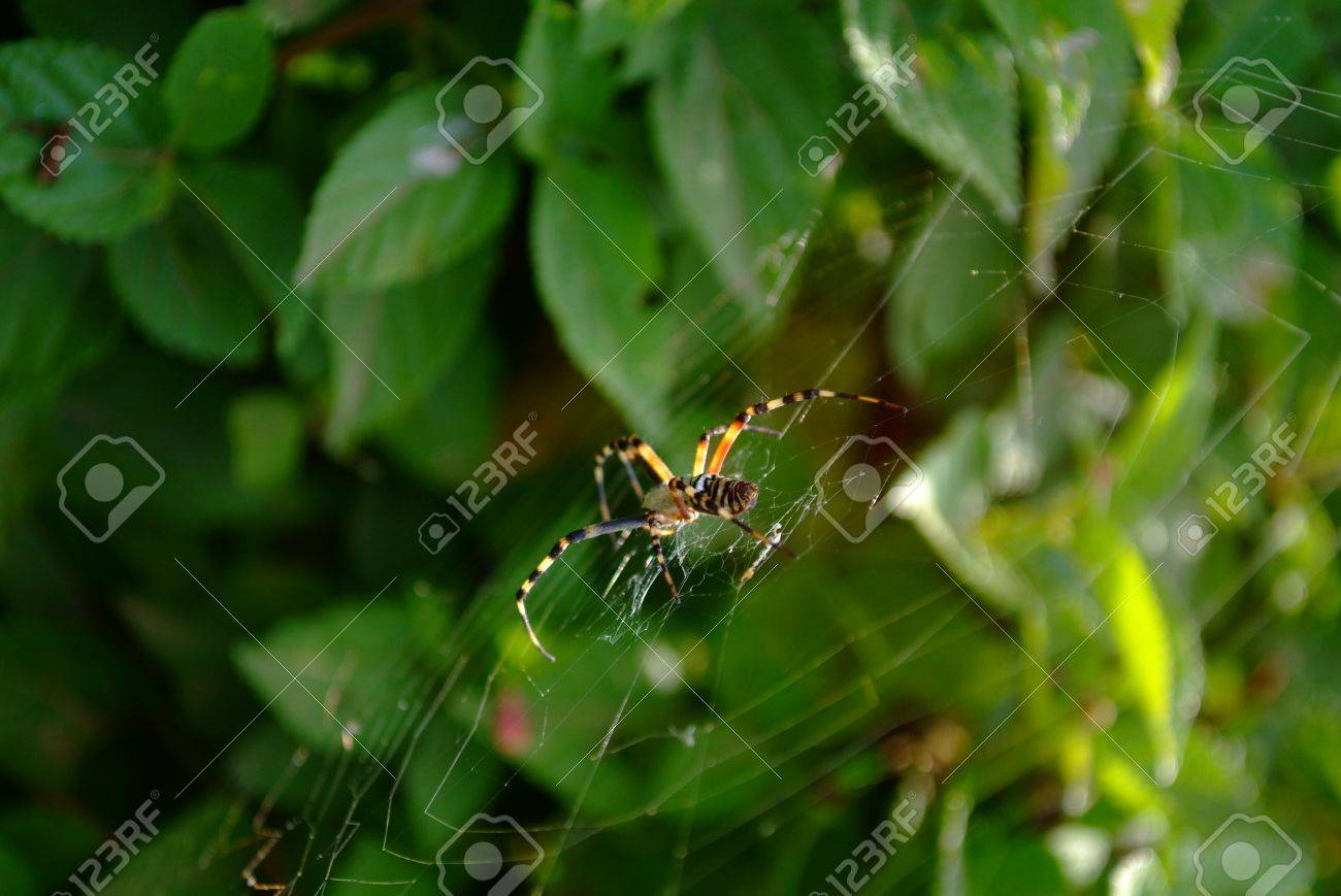 Argiope bruennichi, arachnid also called tiger spider for its colors Stock Photo - 18869035