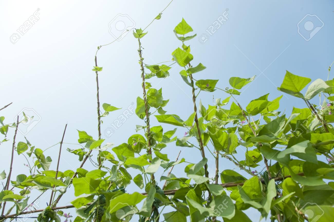 kidney bean Stock Photo - 13730905