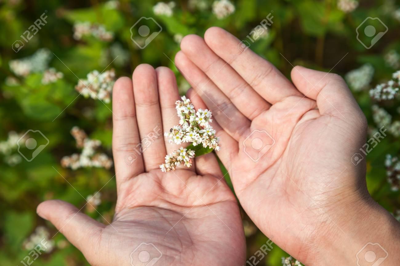 hand showing blooming buckwheat Stock Photo - 16775390