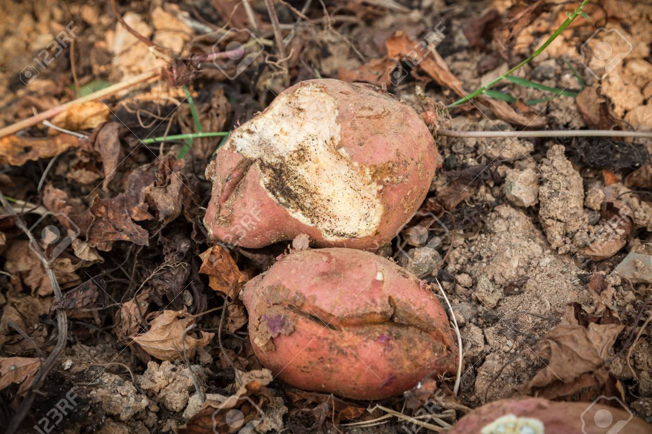 broken sweet potatoes, eated by mouse Stock Photo - 16775489