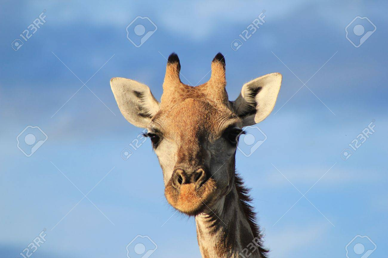 Giraffe African Wildlife With Long Eyelashes This Cow Stares