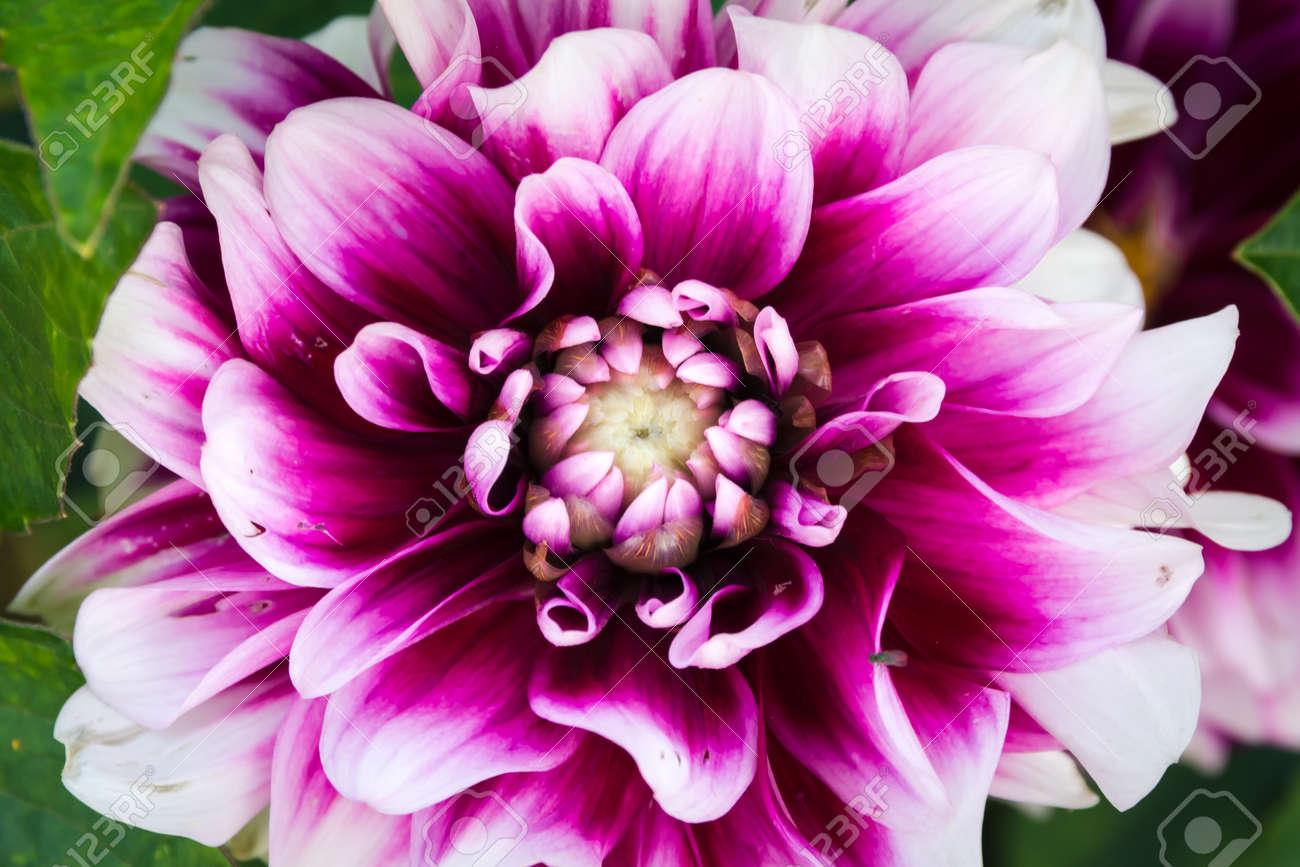Purple White Flower Closeup Macro Budding Center Beautiful Petals