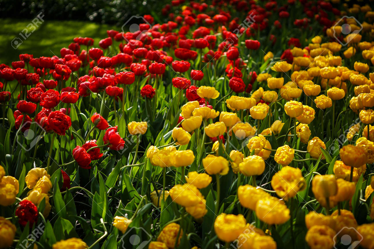 Beautiful Colorful Red Yellow Tulips Flowers Bloom In Spring