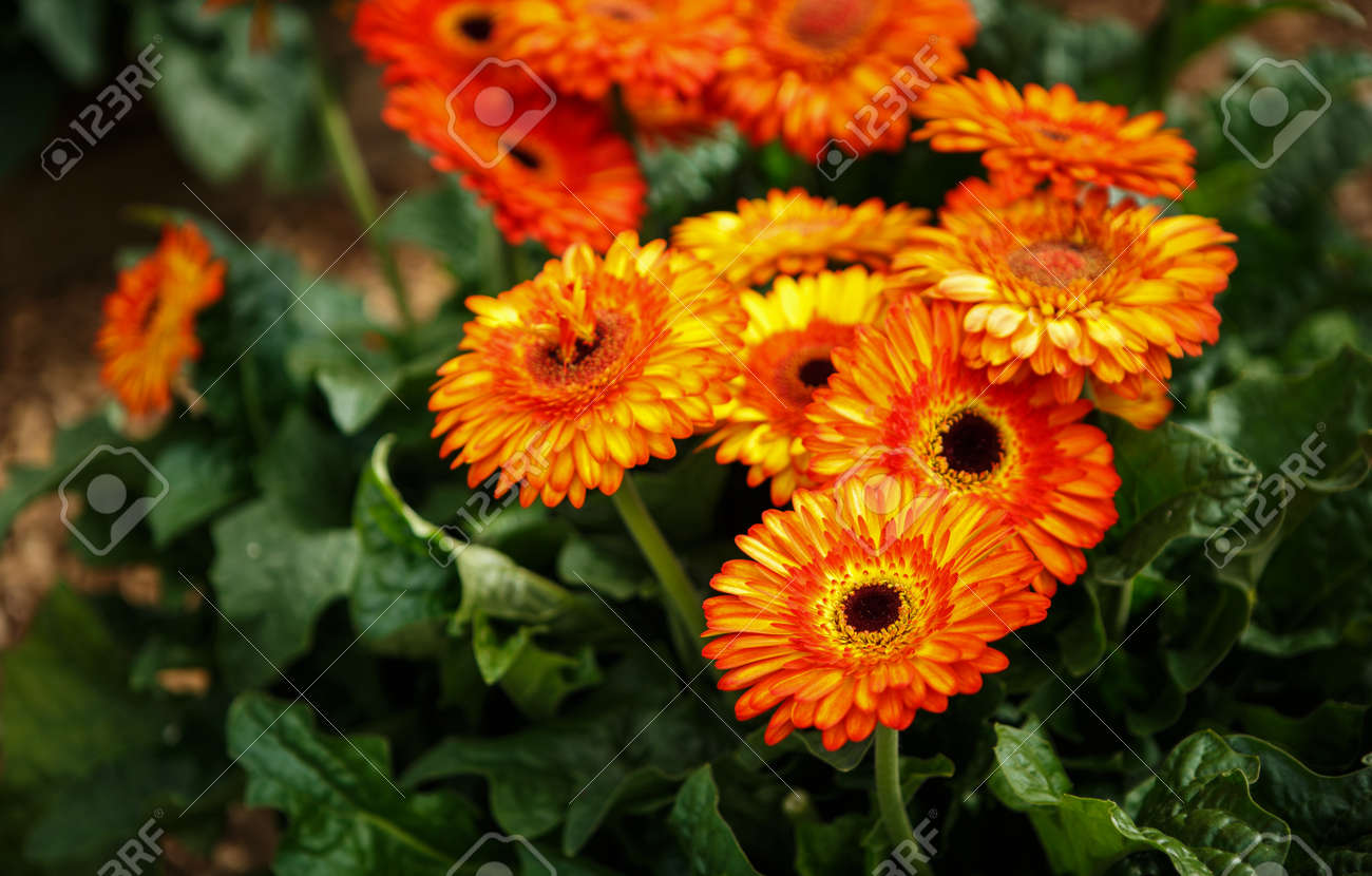 Beautiful Colorful Orange Transvaal Daisy Flowers Bloom In Spring