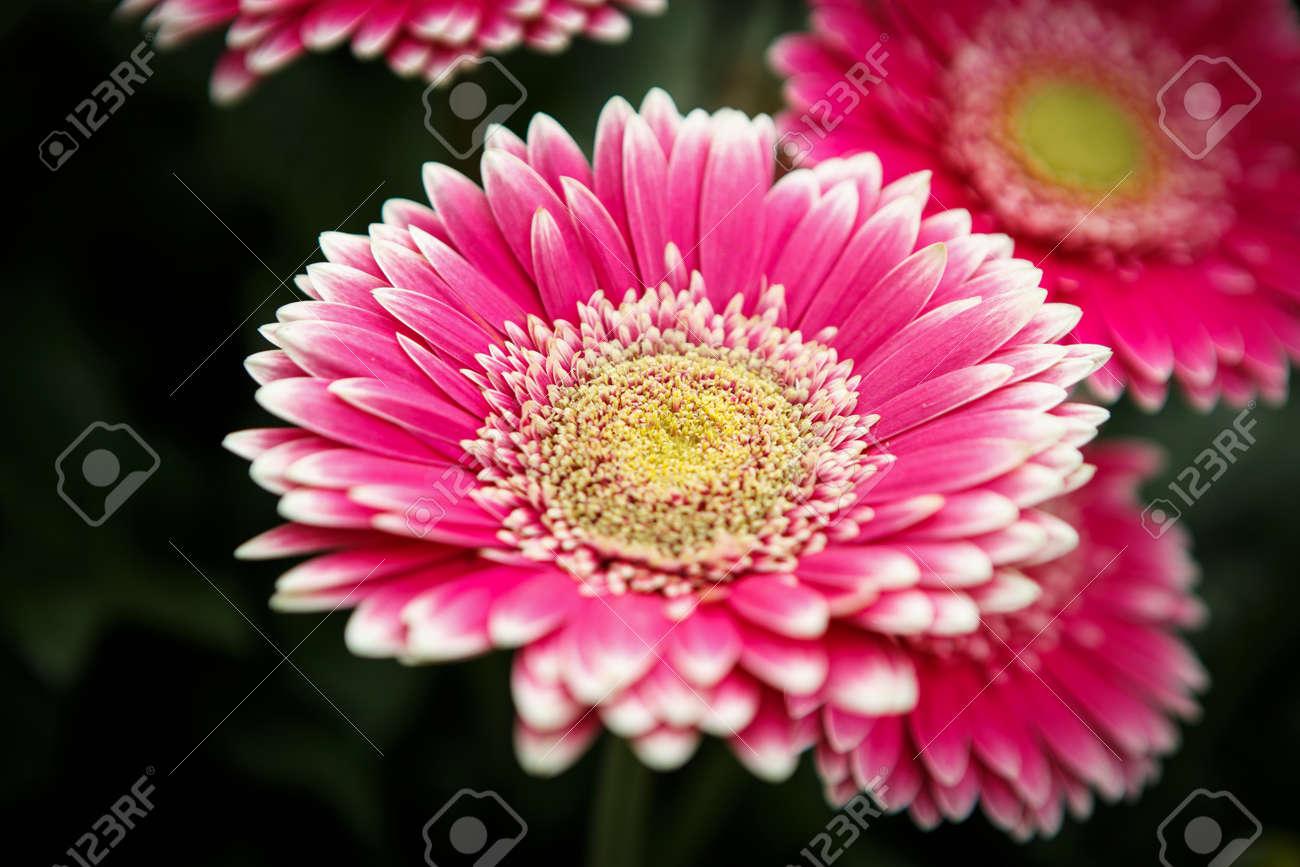 Beautiful Colorful Pink Transvaal Daisies Flowers Bloom In Spring