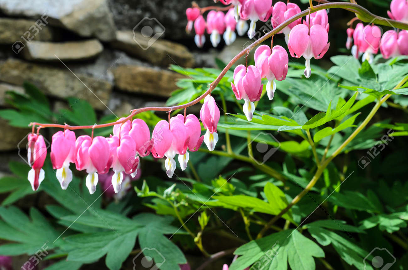 Pink Bleeding Heart Plant In Nice Green Garden Stock Photo Picture