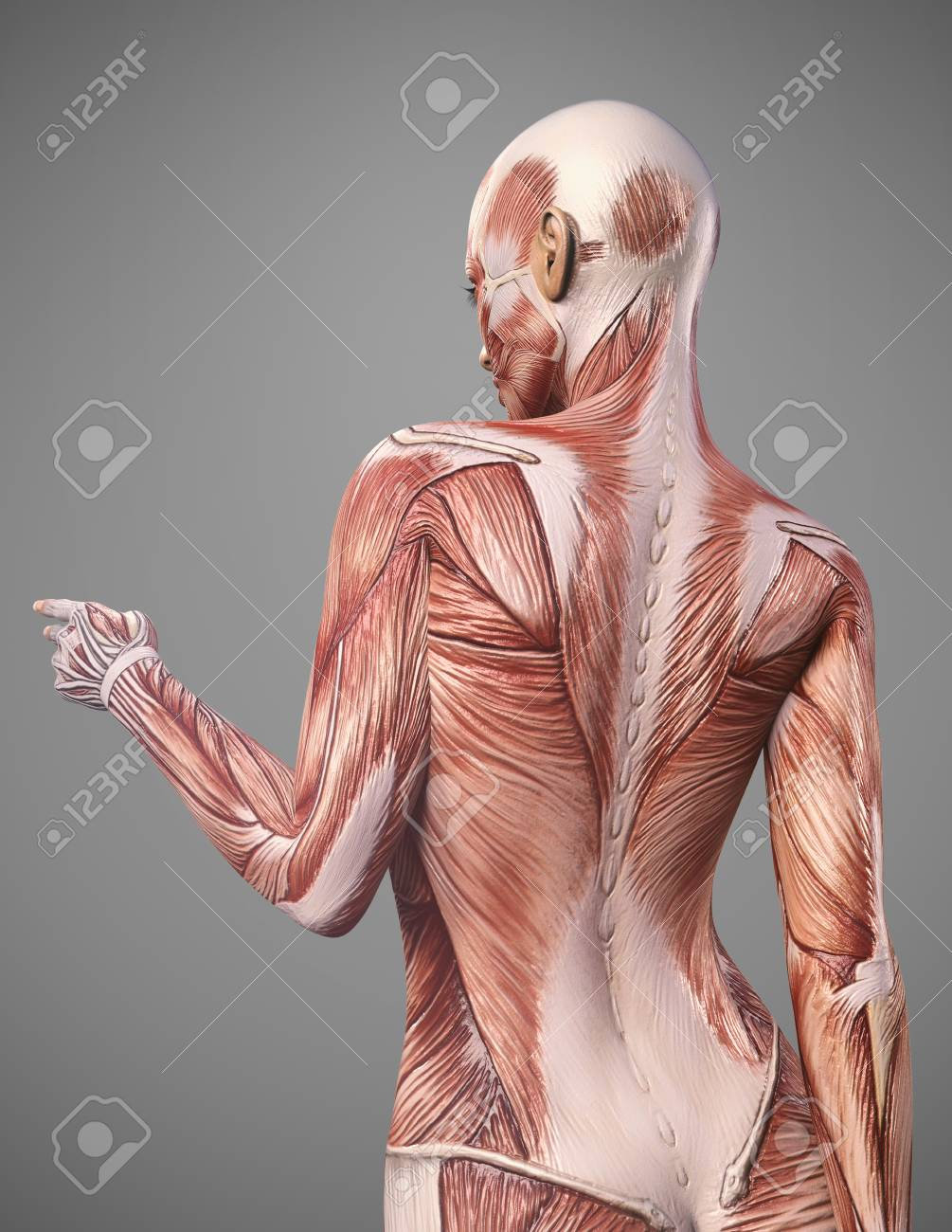 Back Muscle Anatomy Of Woman Render Stock Photo Picture And Royalty