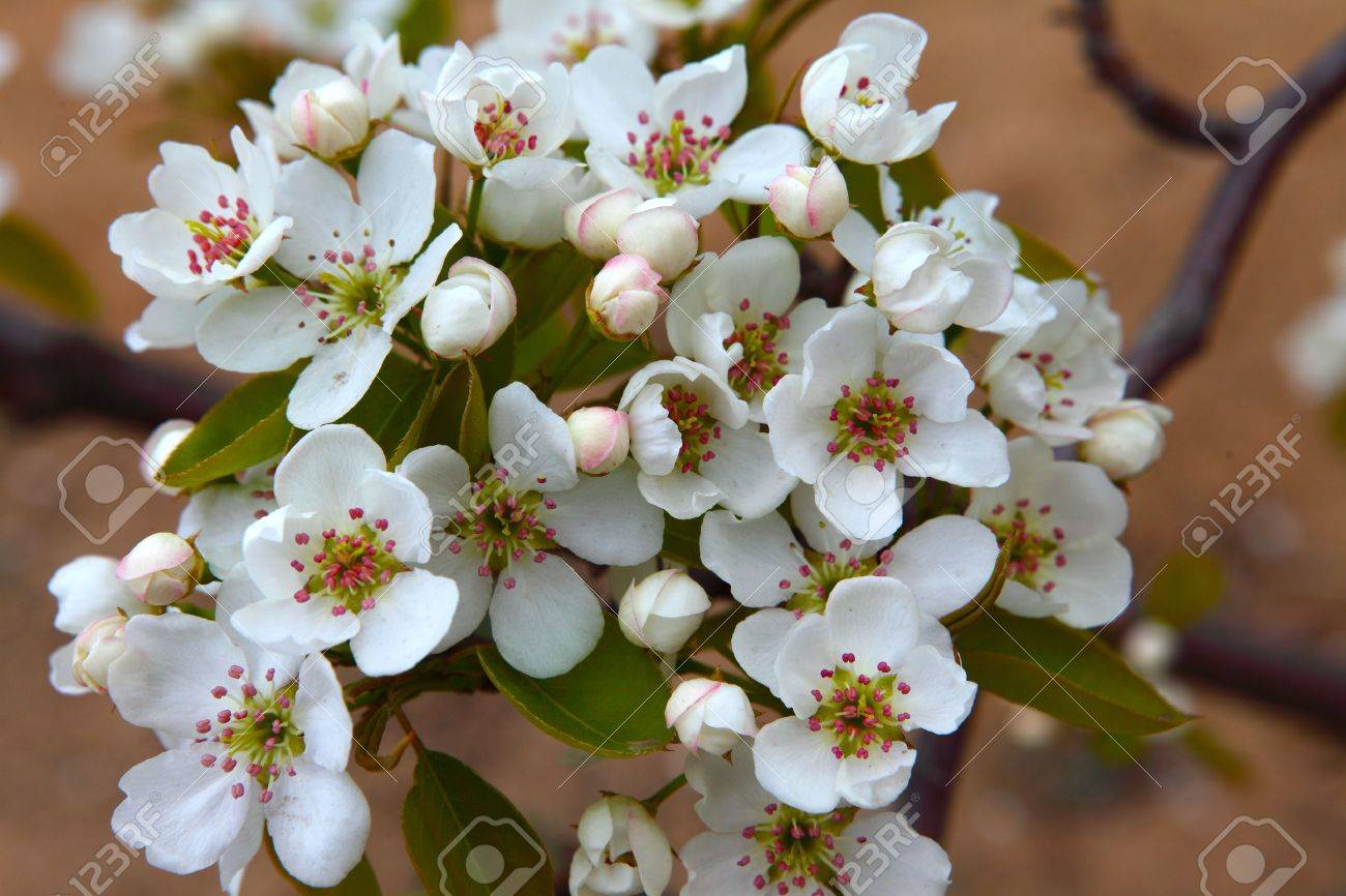 Pear flower Stock Photo - 16823062