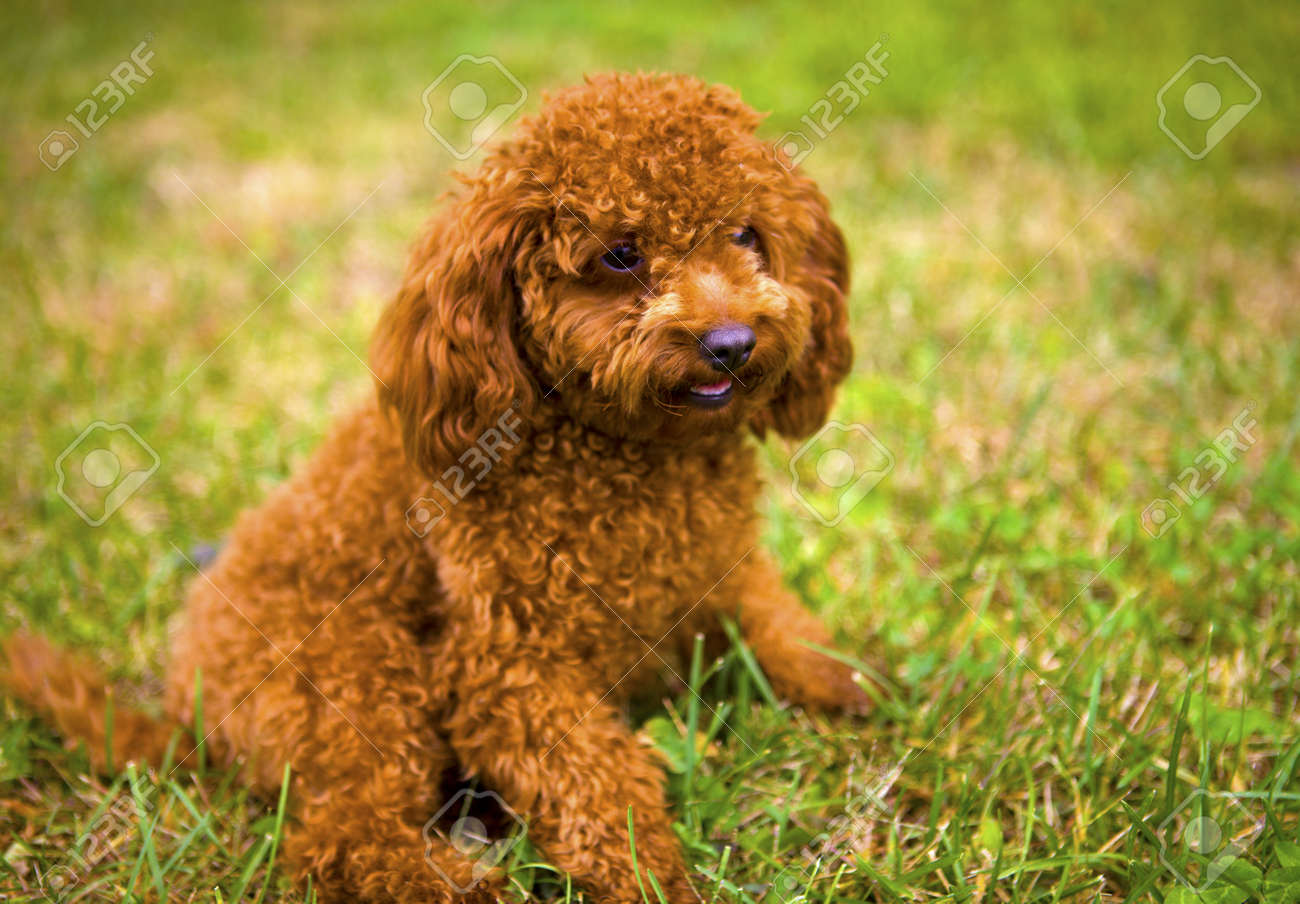 Good Bear Brown Adorable Dog - 19340164-poodleadorable-animal-apricot-bear-breed-canine-cavalier-charles-circus-contemplate-curious-cute-dog  Picture_421422  .jpg