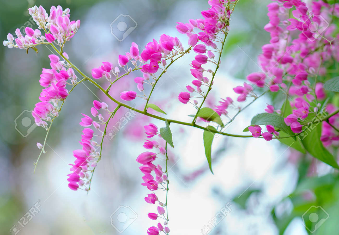 Pink Coral Vine Flower Shimmering In The Wind Stock Photo Picture