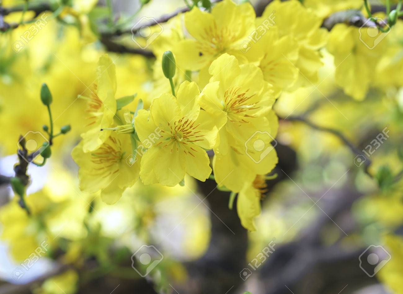 Apricot Flowers Blooming In Vietnam Lunar New Year With Fragrant