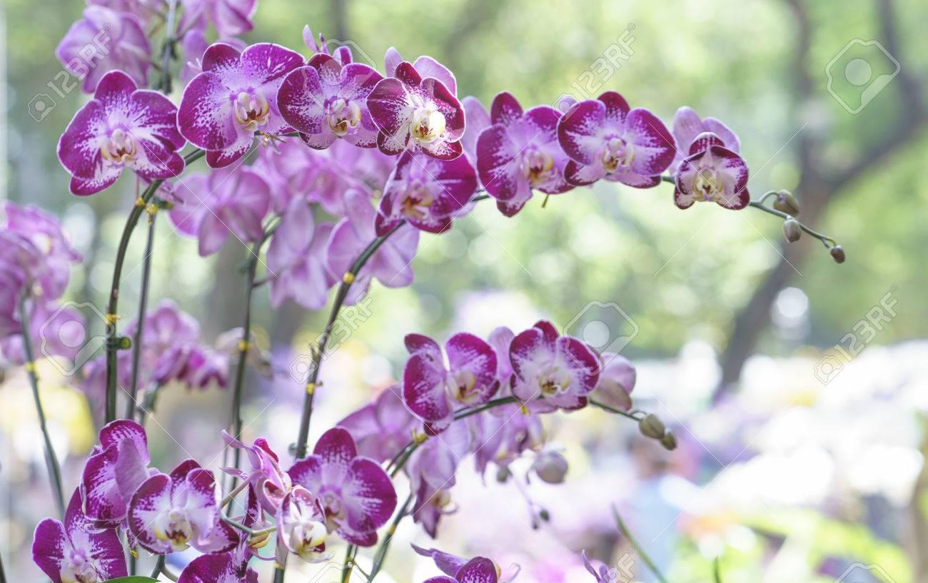 Phalaenopsis orchids bloom in spring flowers adorn the beauty phalaenopsis orchids bloom in spring flowers adorn the beauty of nature stock photo 72753393 izmirmasajfo