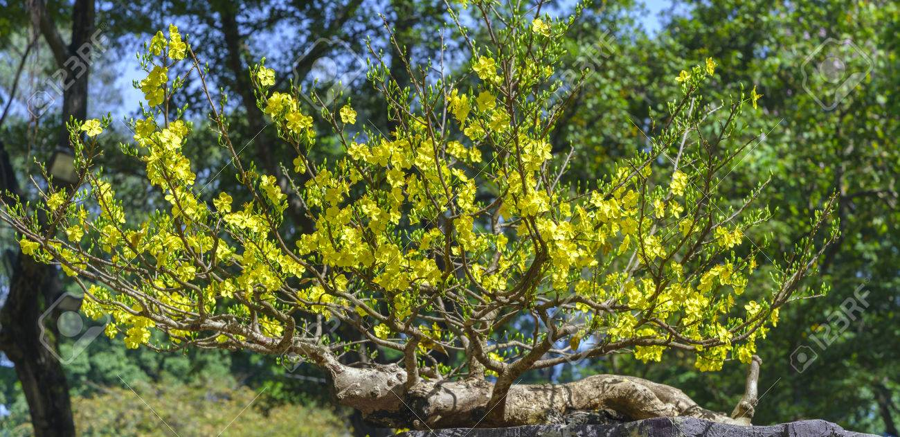 Apricot Bonsai Tree With Yellow Blooming In Spring Flowering Stock