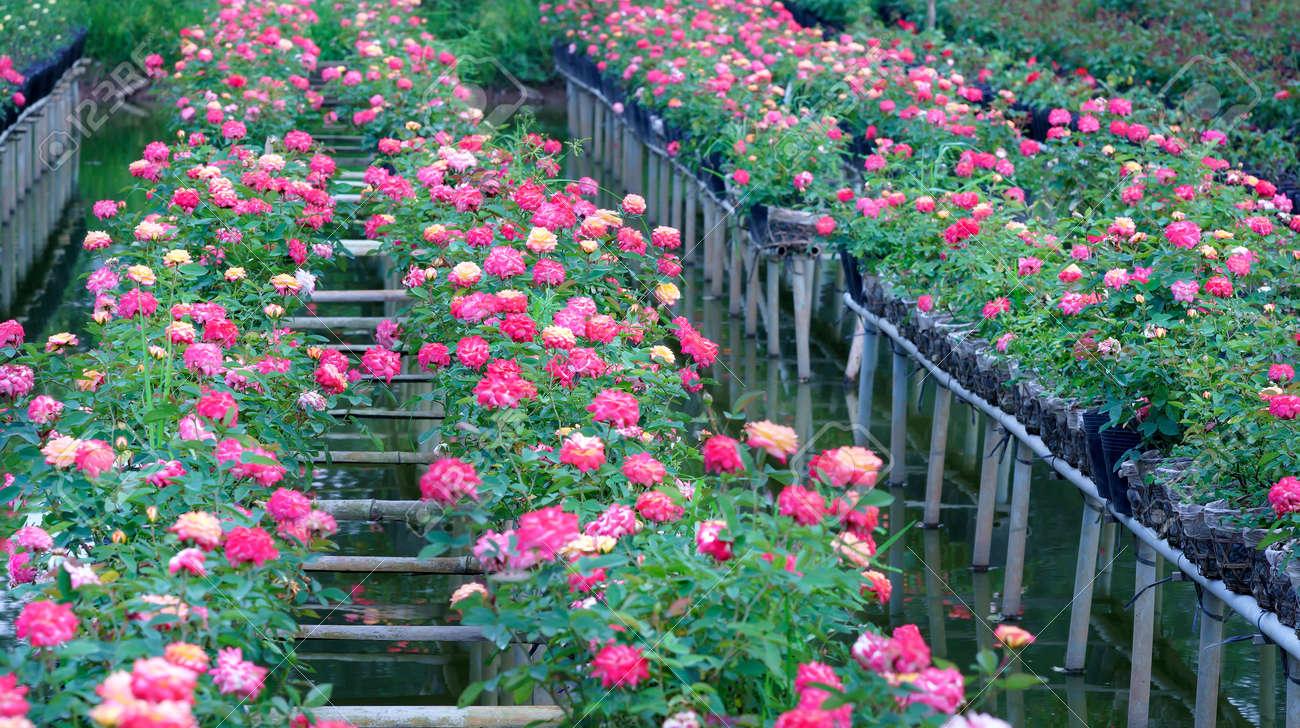 Immagini stock il giardino di rose è coltivato dal metodo