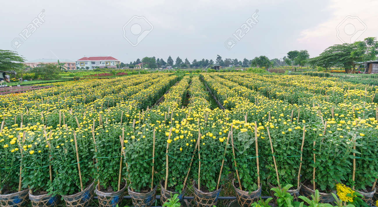 Chrysanthemum Field In The Harvest With Thousands Of Yellow Flowers