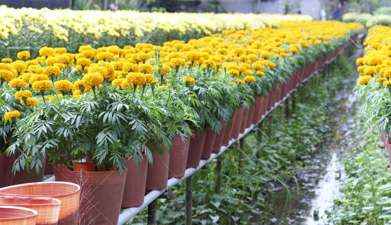 33a2efc28cd Marigold flower garden. They are focused on preparing for sale on the  traditional Lunar New