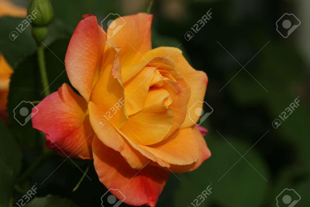 rose Stock Photo - 9556853