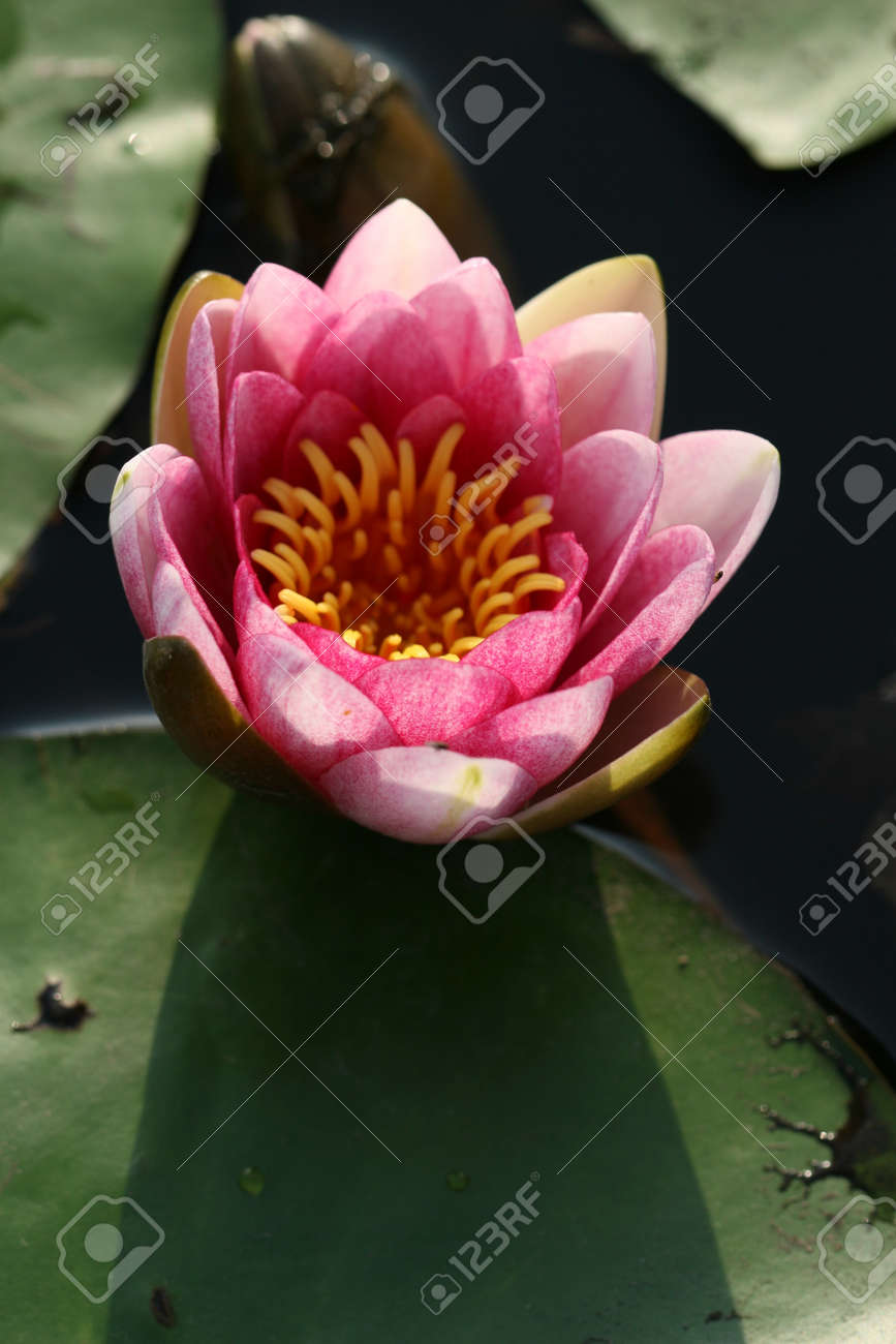 water lily Stock Photo - 14004920