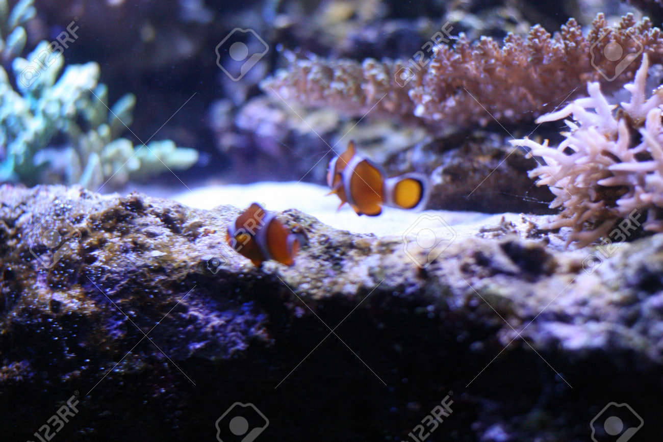 Clown anemonefish Stock Photo - 17475571