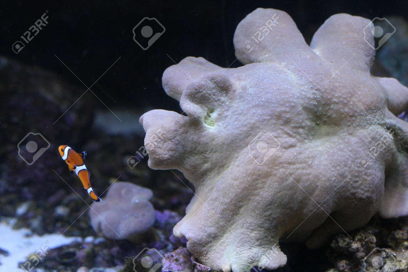 Clown anemonefish Stock Photo - 17491839