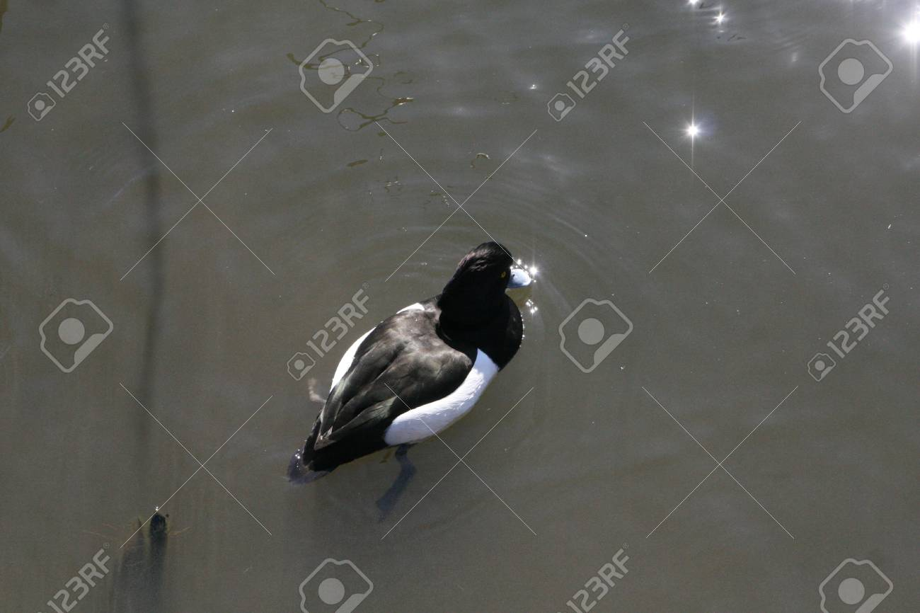 wild duck Stock Photo - 18240032