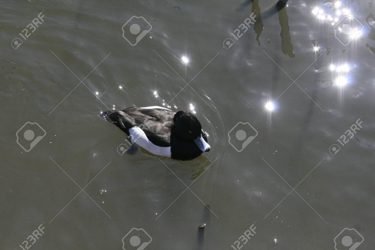 wild duck Stock Photo - 18240002