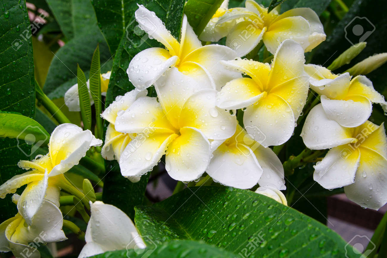 Frangipani or plumeria flower in drops of water after rain frangipani or plumeria flower in drops of water after rain traditional flowers hawaiian culture izmirmasajfo Choice Image
