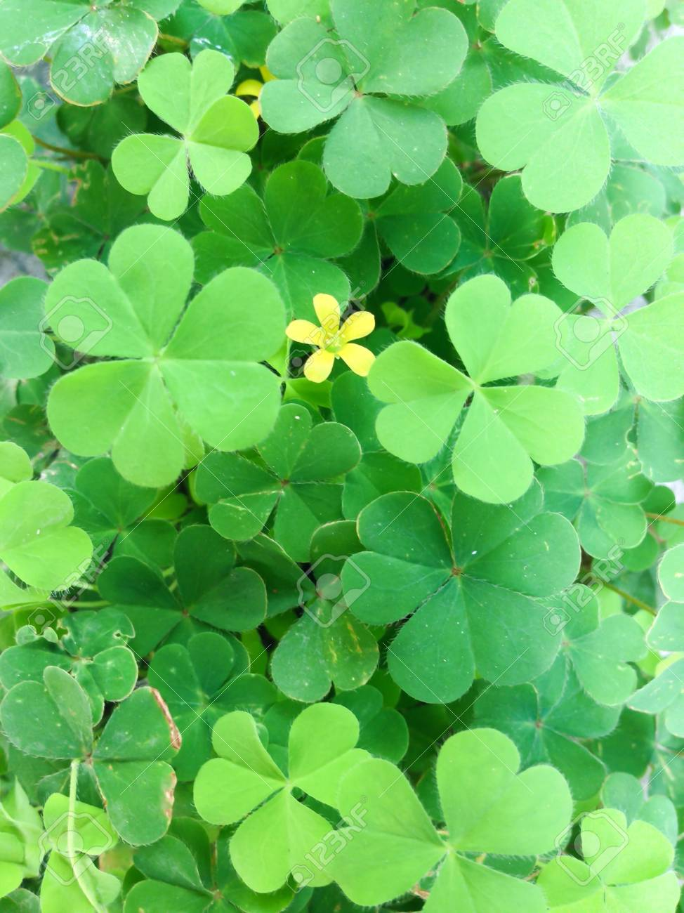 Close Up Of Clover With Yellow Flower Stock Photo Picture And