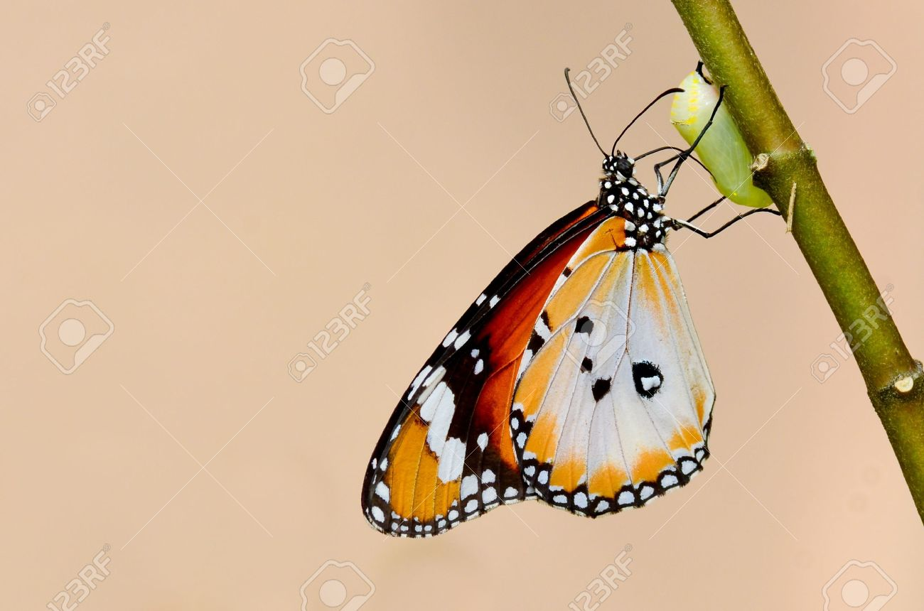 butterfly kiss the pupa - 10979892