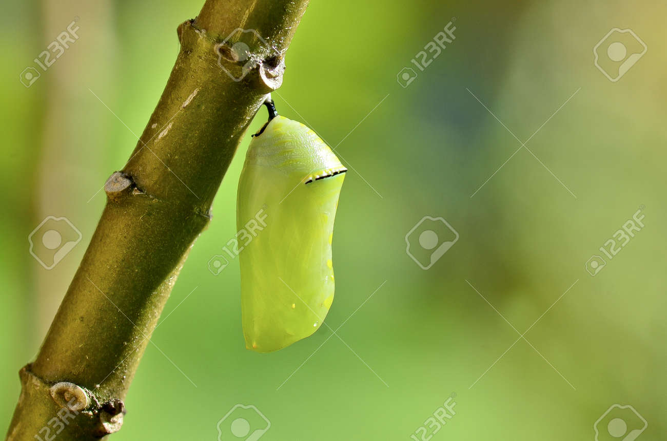 pupa of Plain Tiger Butterfly - 10979894