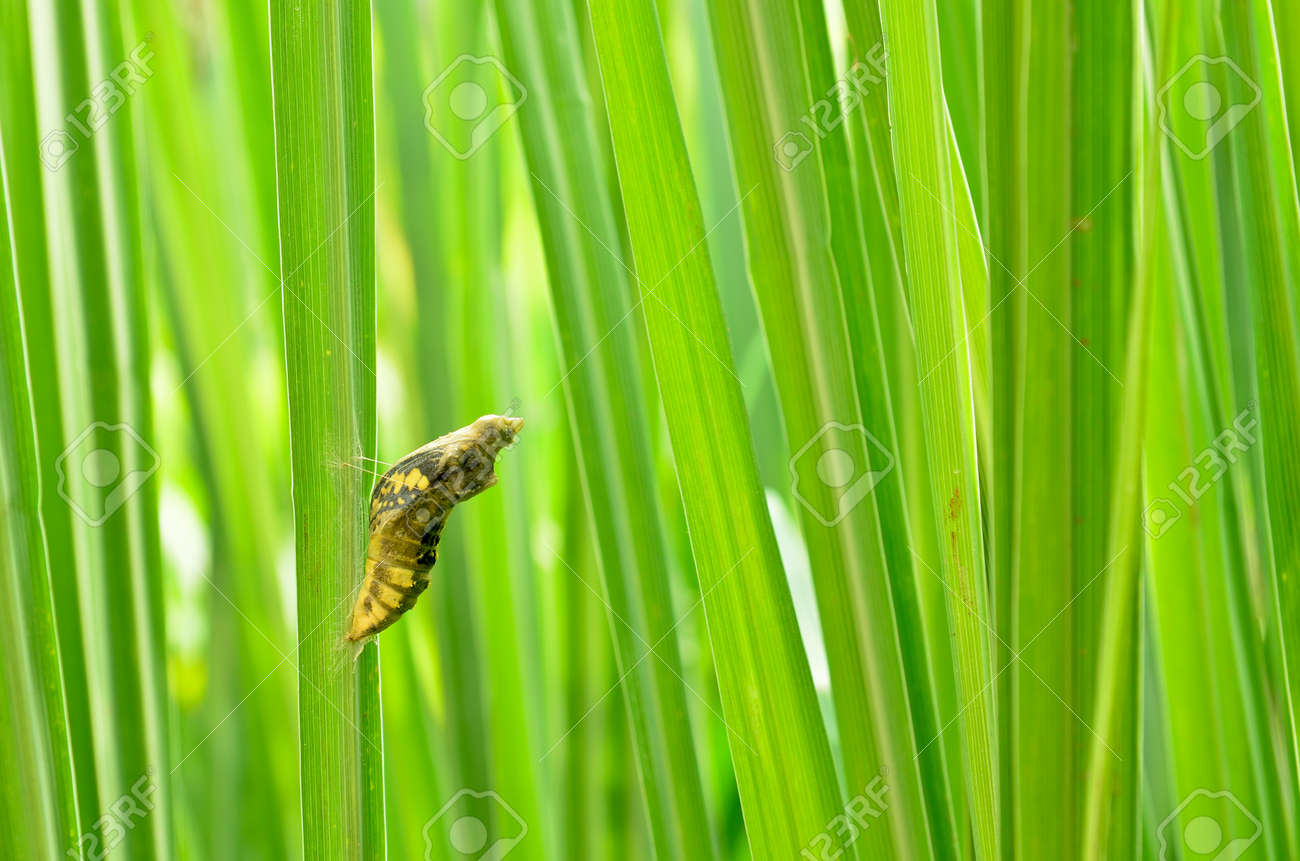 pupa on lemongrass - 11081920