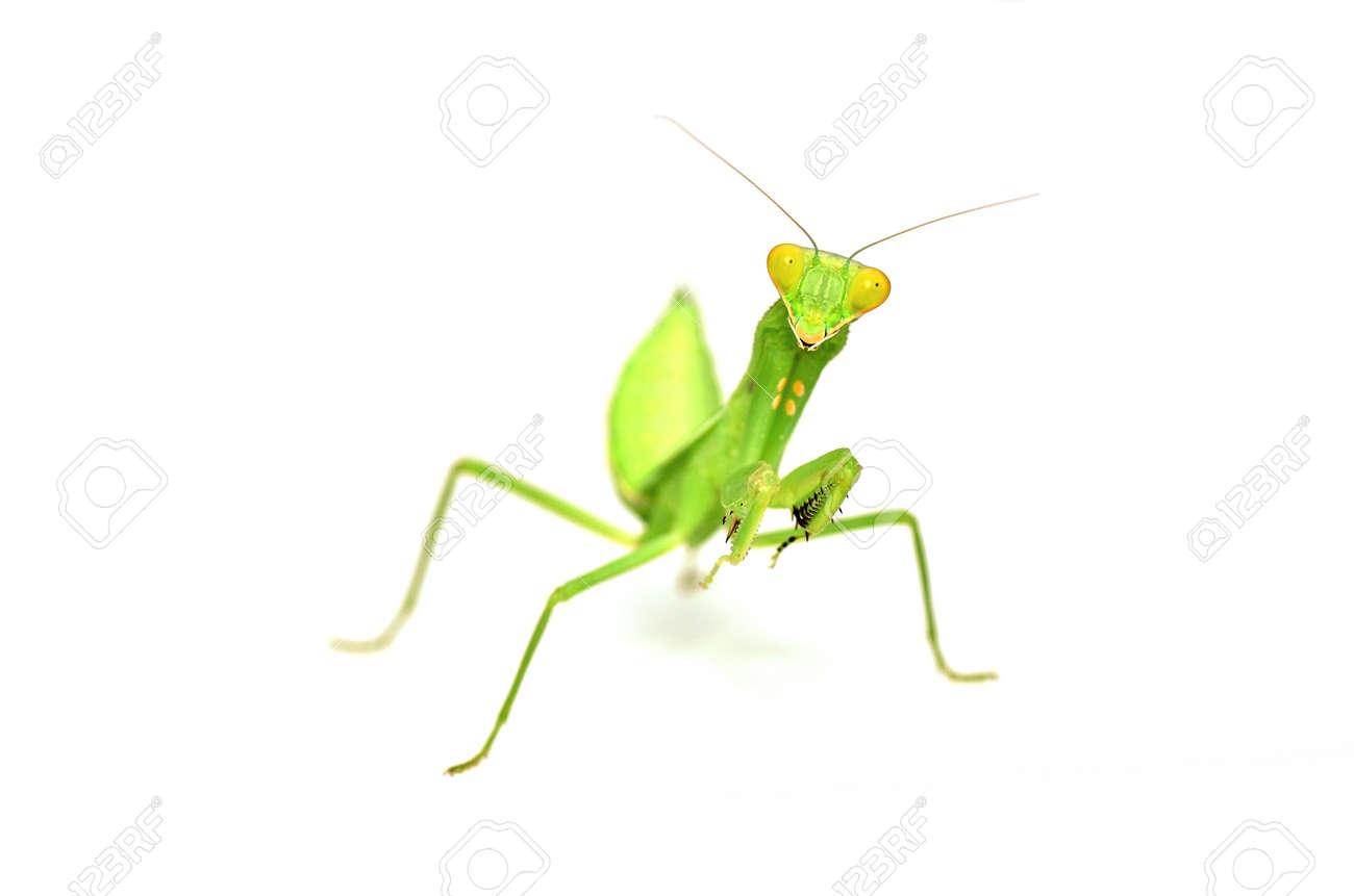 Mantis isolated on white background - 11081883