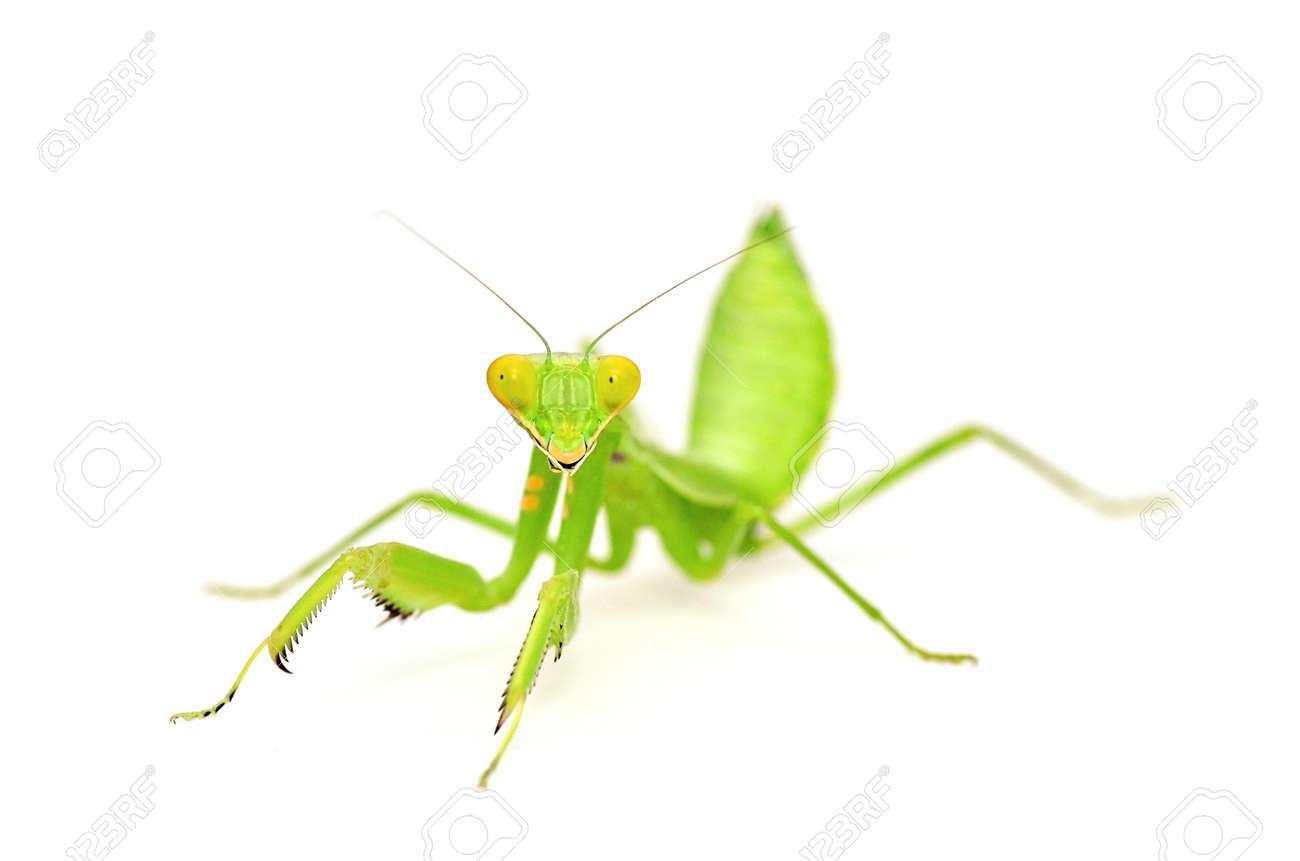 Mantis isolated on white background - 11081884