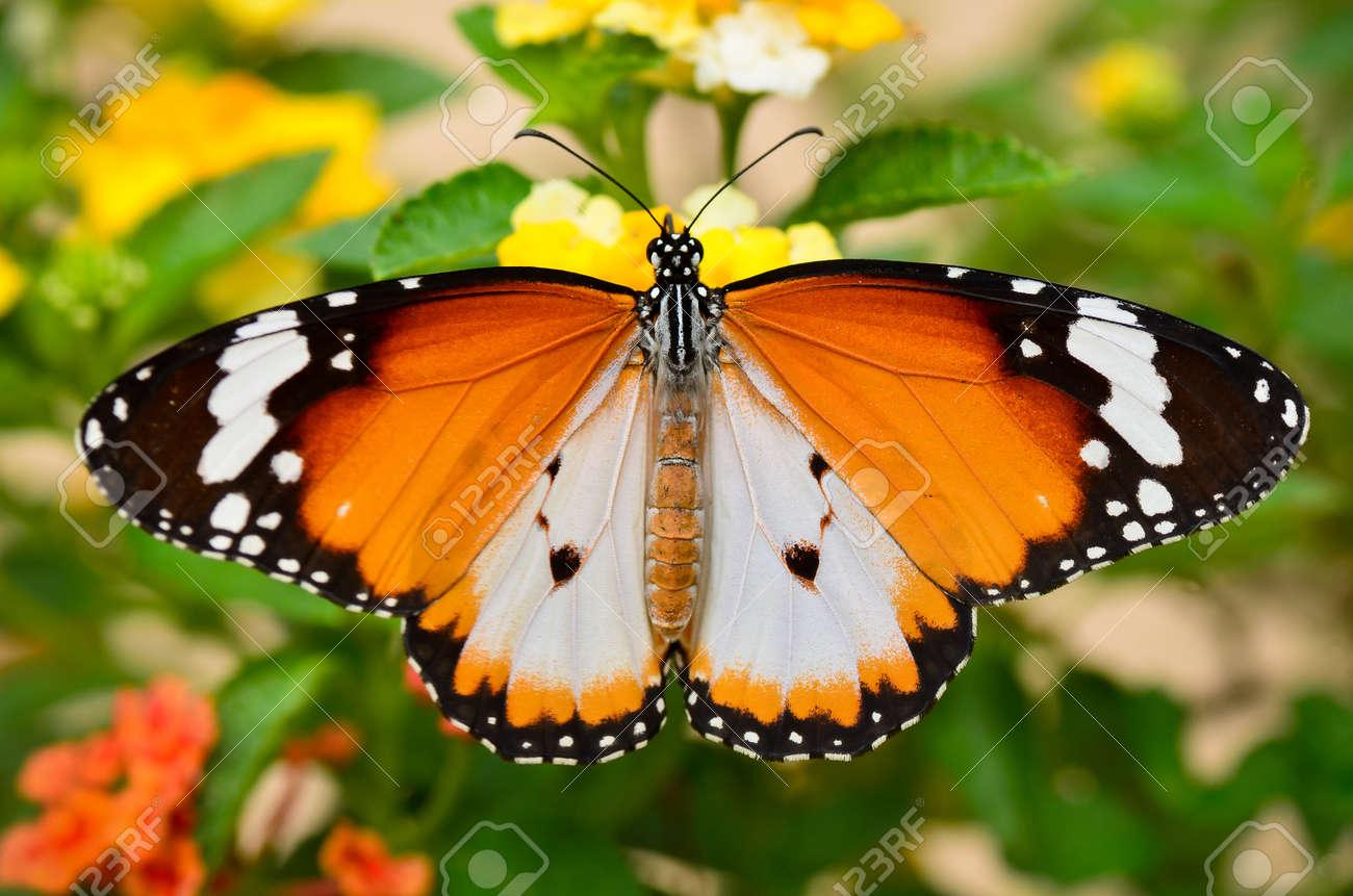 Plain tiger butterfly - 11081924