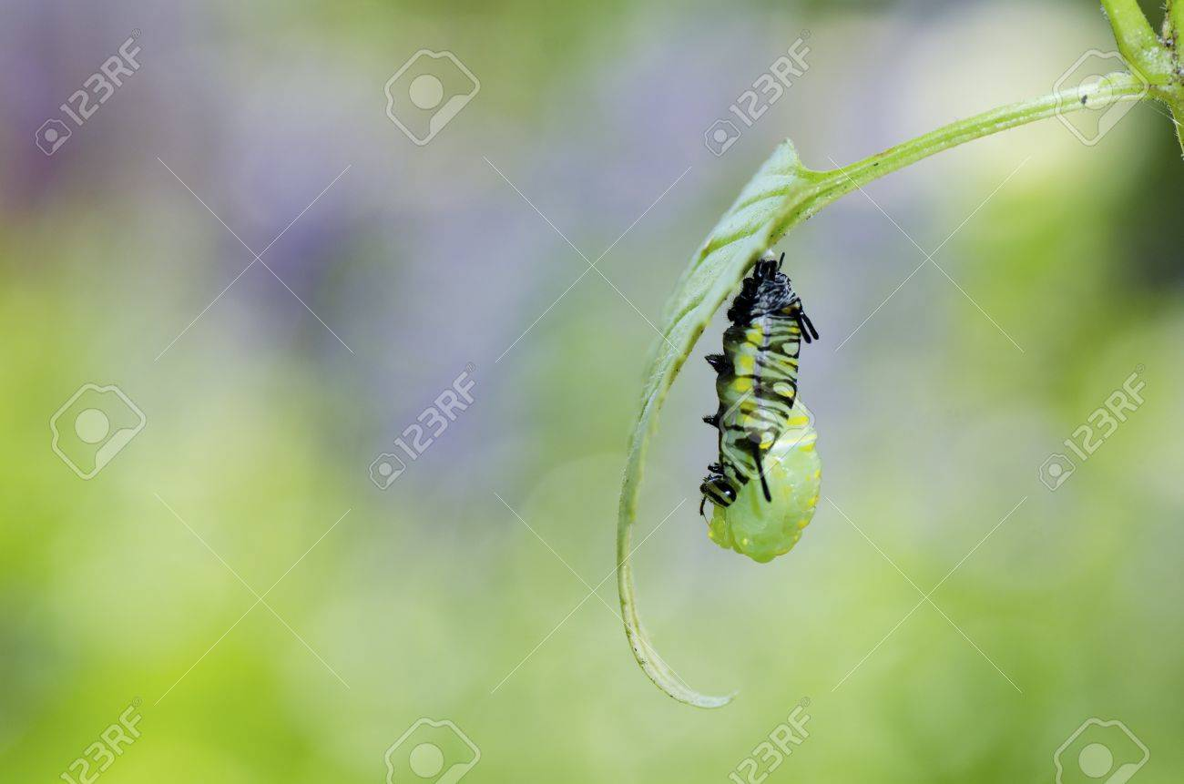 the moment caterpillar turning to pupa - 11081986