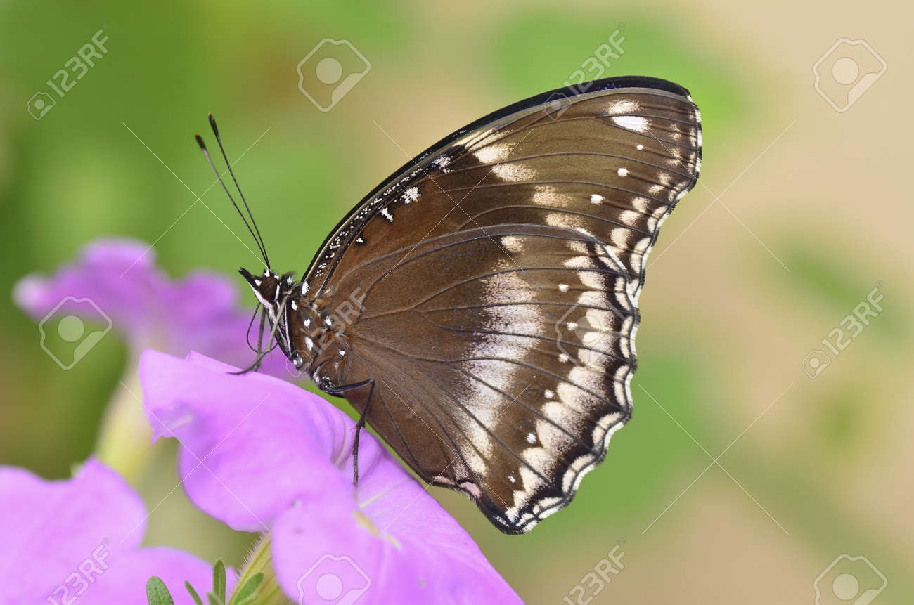 Blue moon butterfly on pink petunia - 17038474