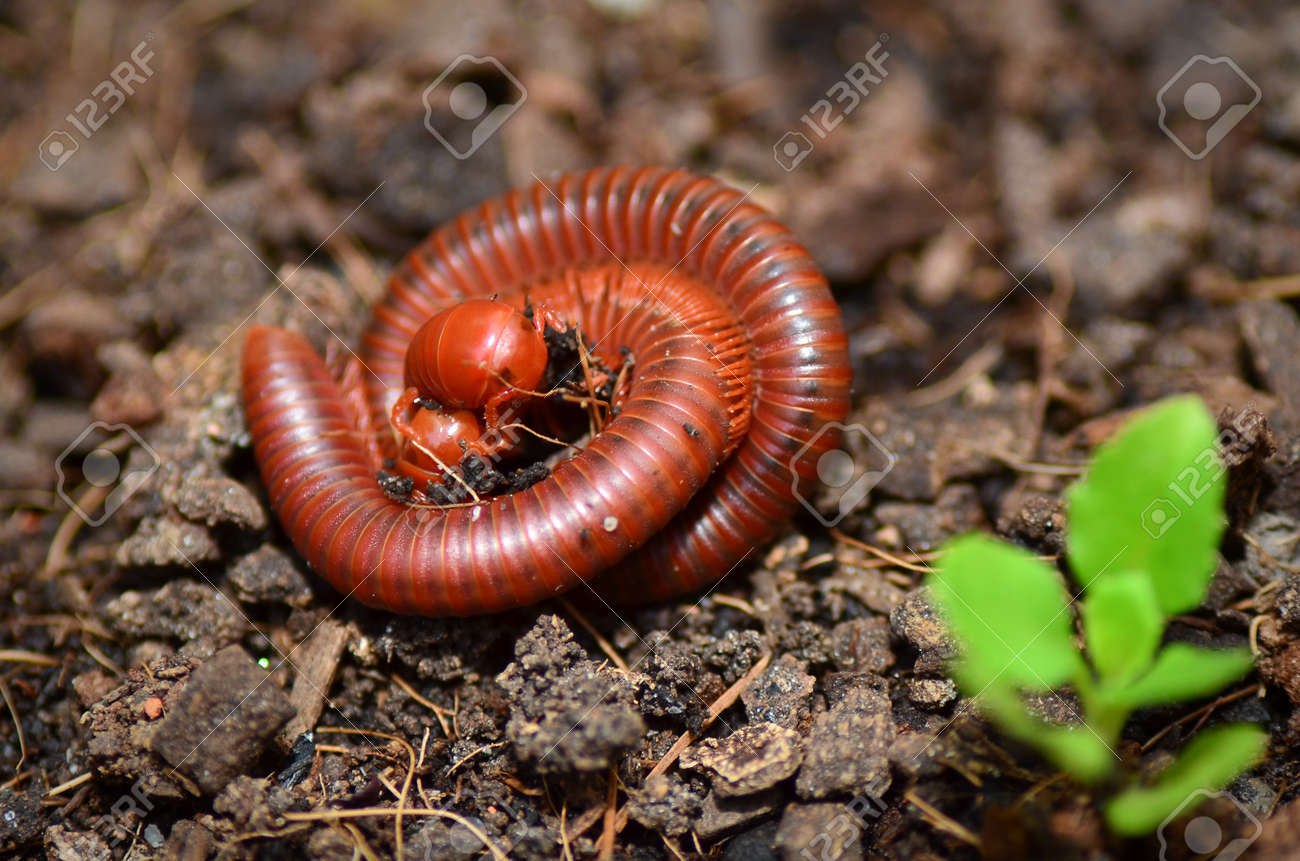A Pair of Millipedes mating - 11694990