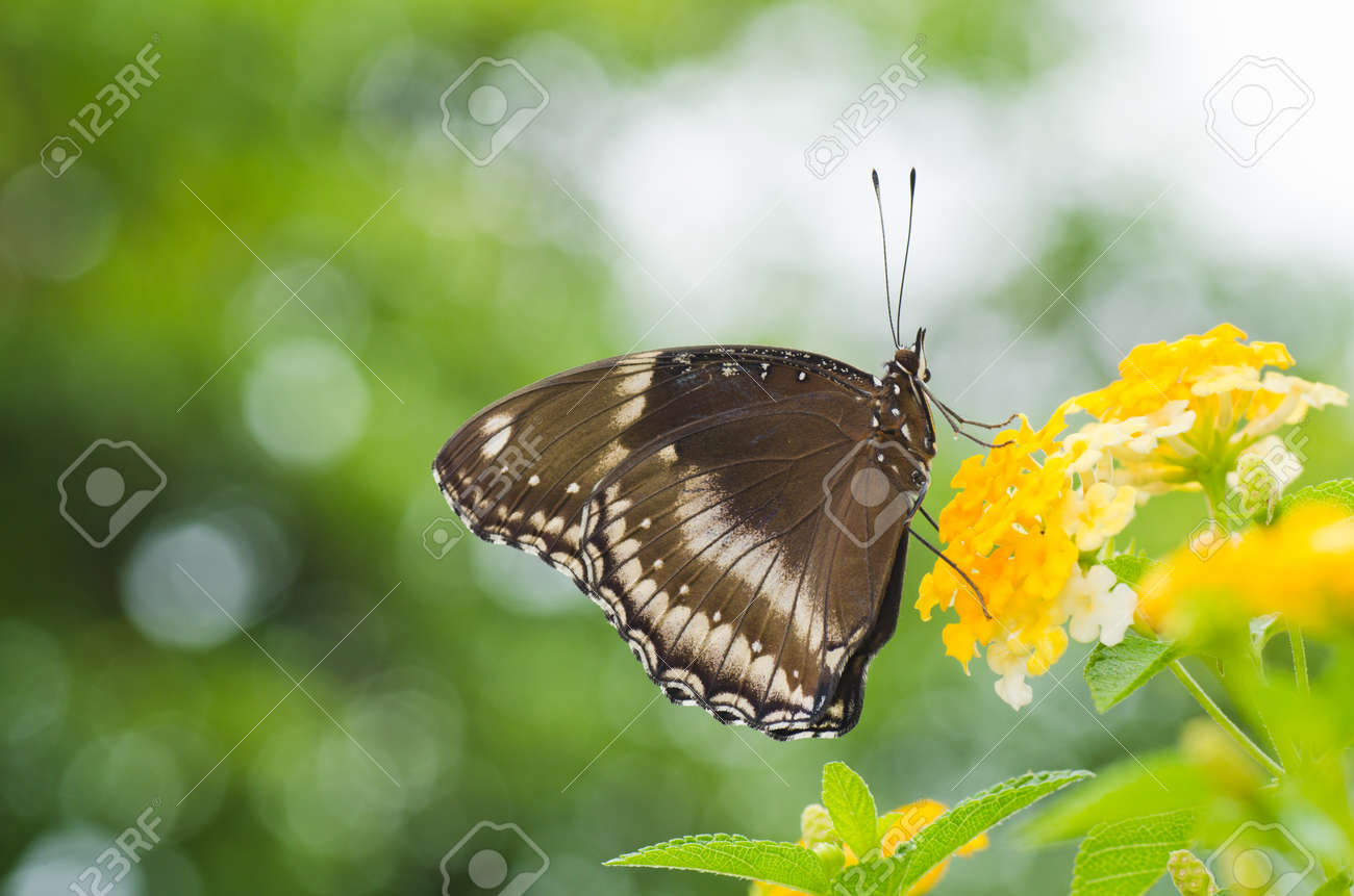 Blue Moon Butterfly on Lantana camara - 11694997