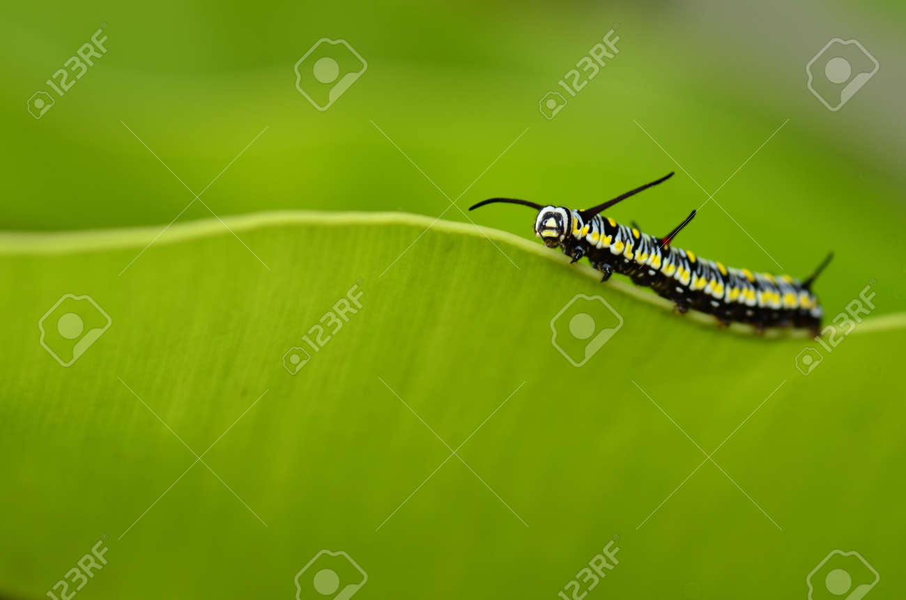 caterpillar of plain tiger butterfly - 11694989