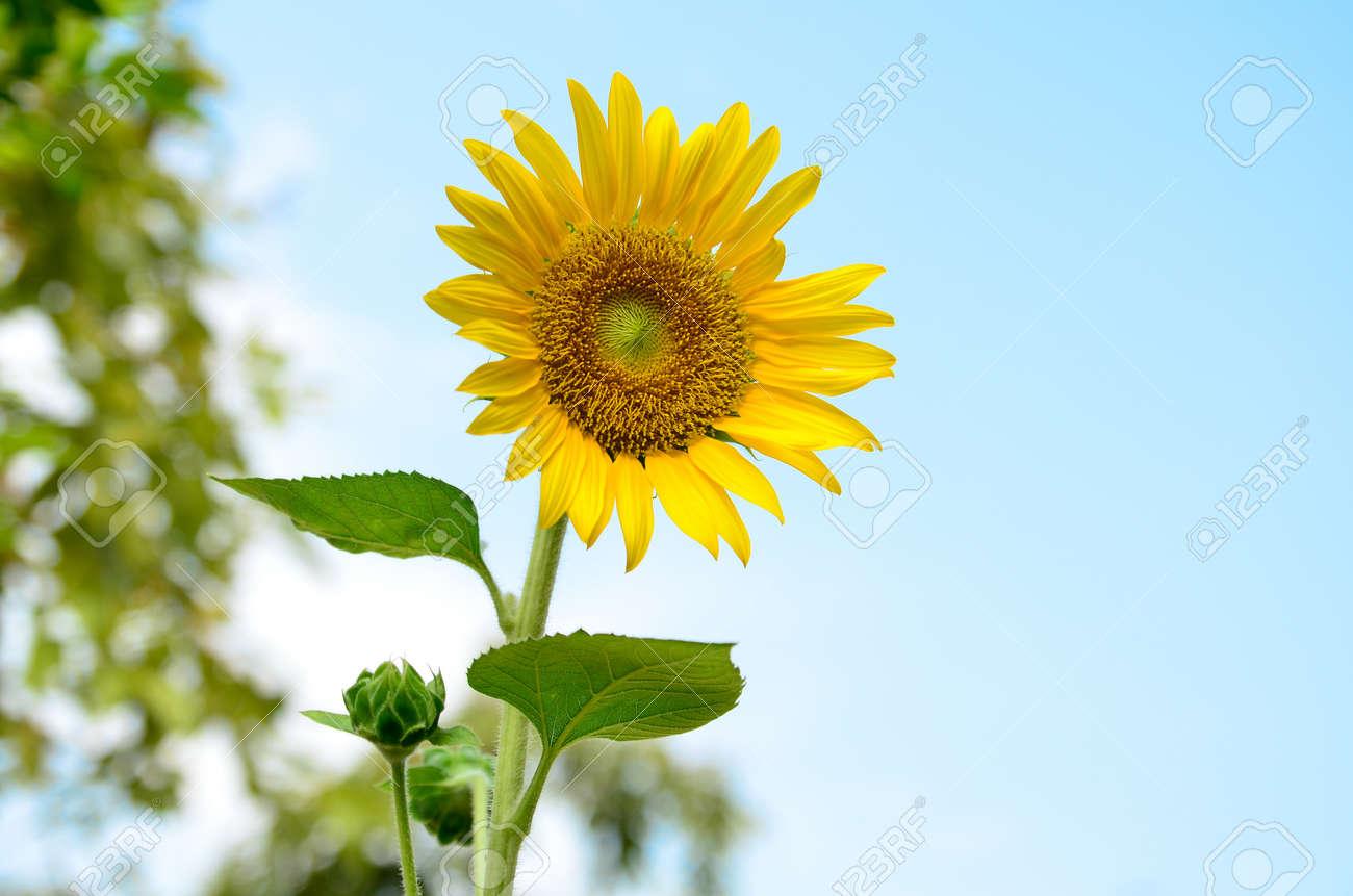 Blooming sunflower - 14836562
