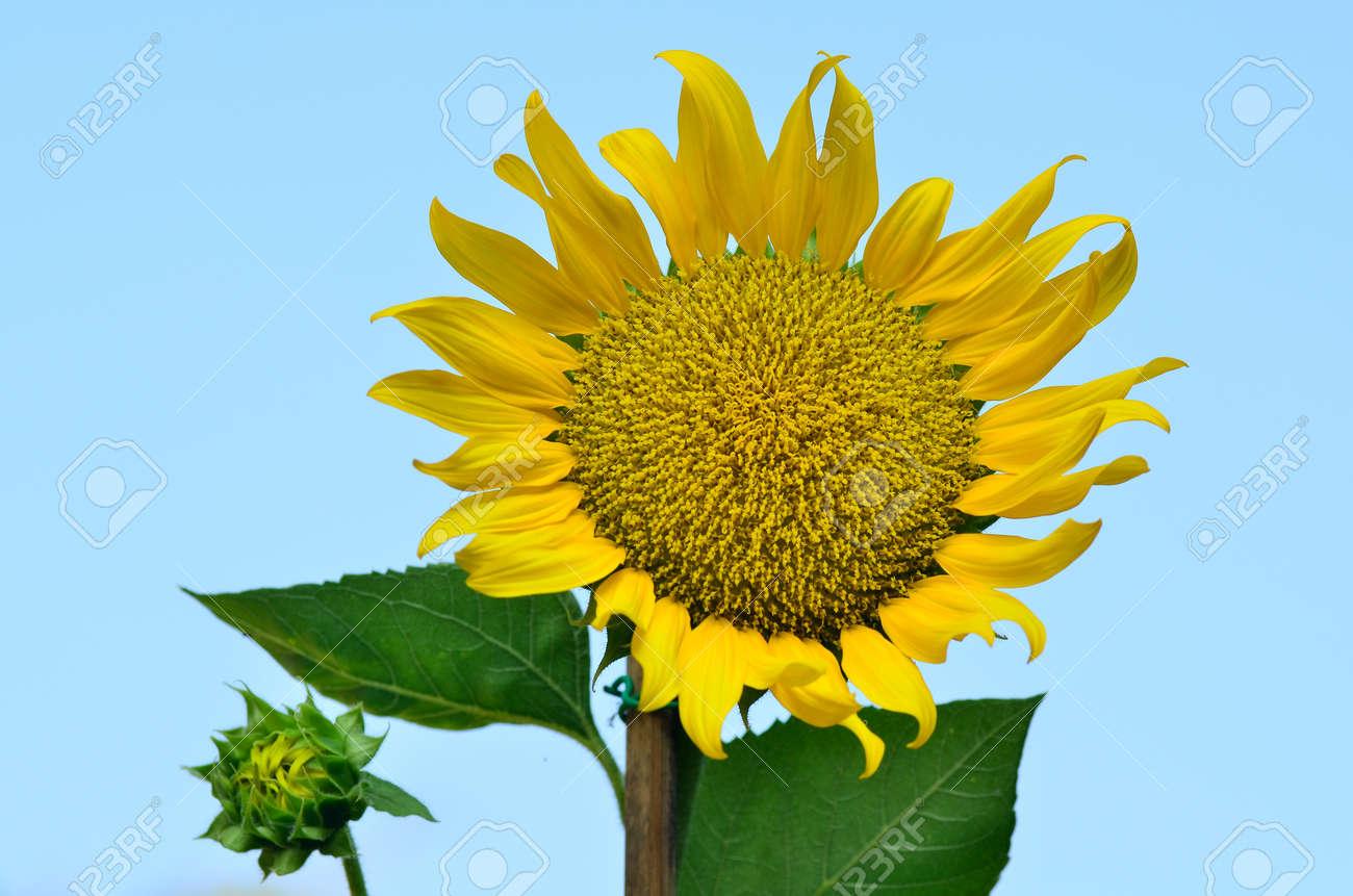 Blooming sunflower - 14836529