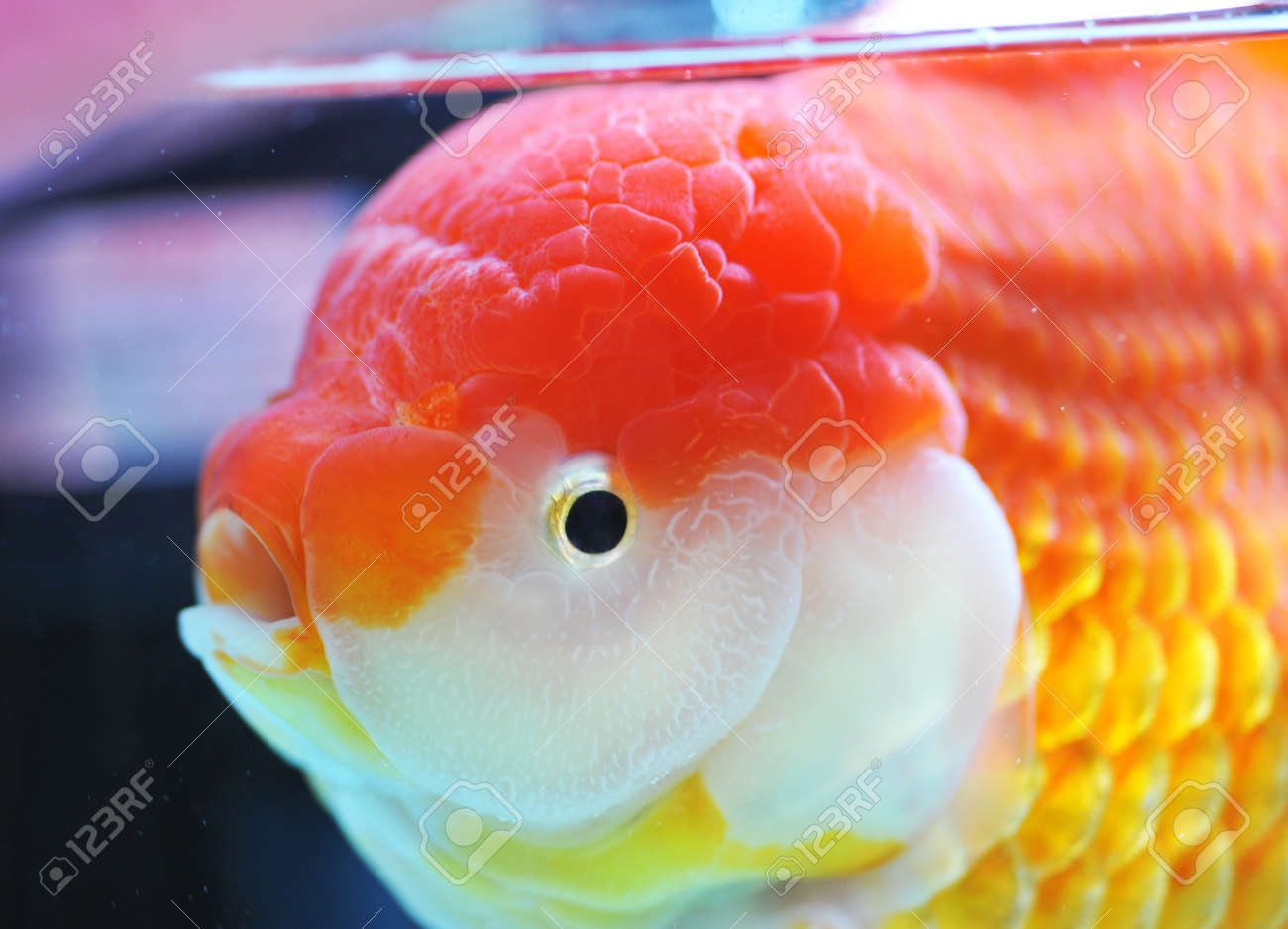 lion head goldfish in fish tank. Stock Photo - 13647953