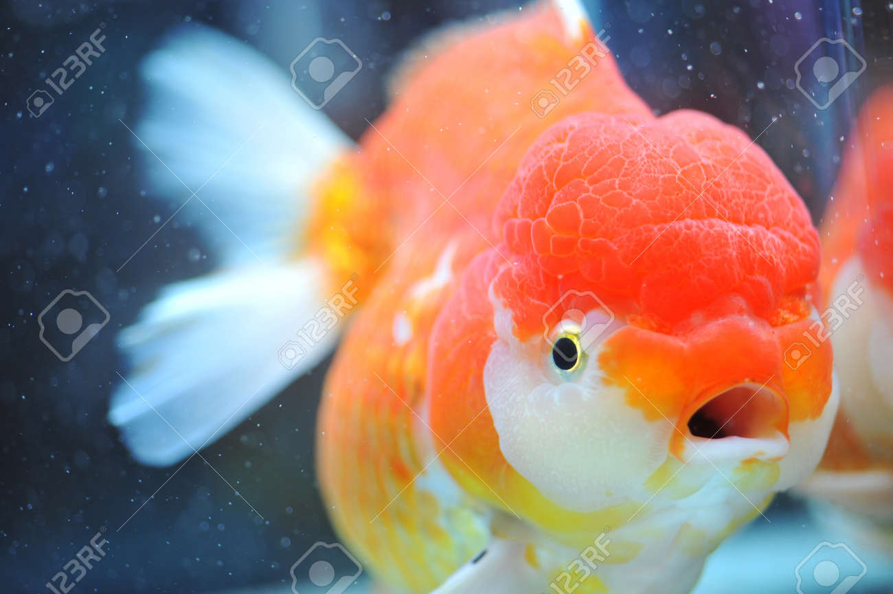 Fish in tank with goldfish - Stock Photo Lion Head Goldfish In Fish Tank