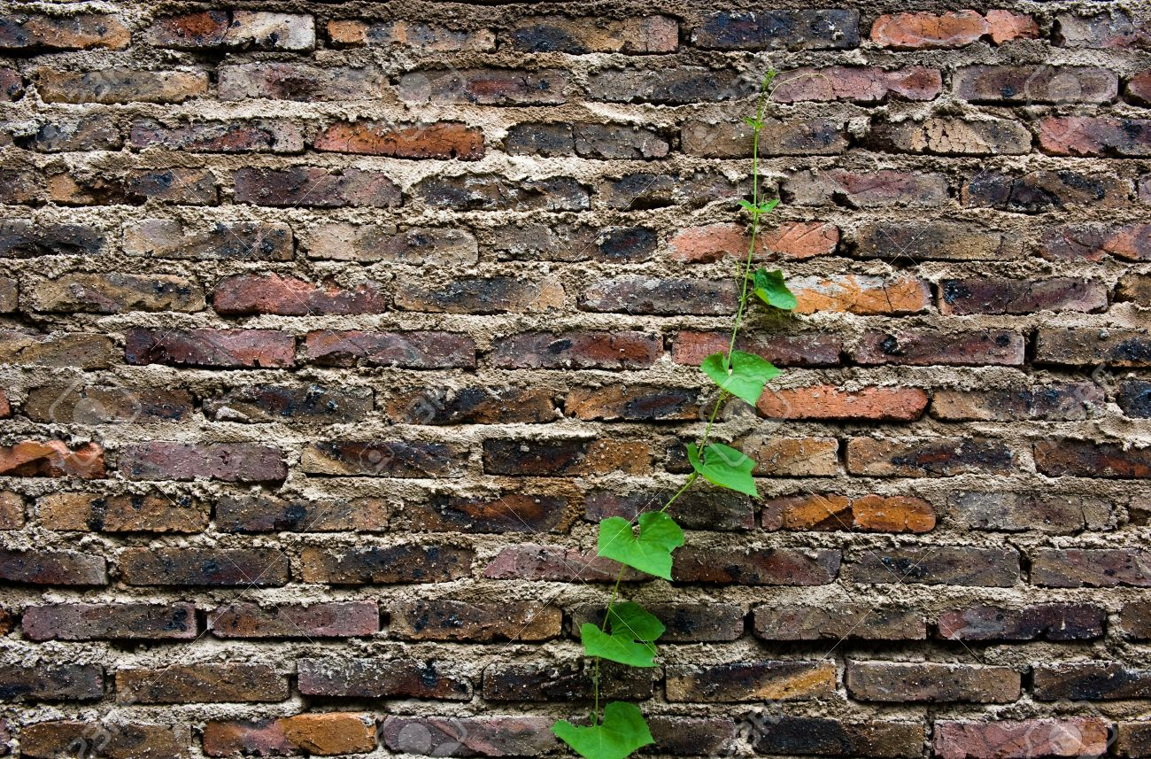 Climbing vines for walls - Climbing Vines For Walls The Brick Wall With A Leafy Vine Climbing Up The Side