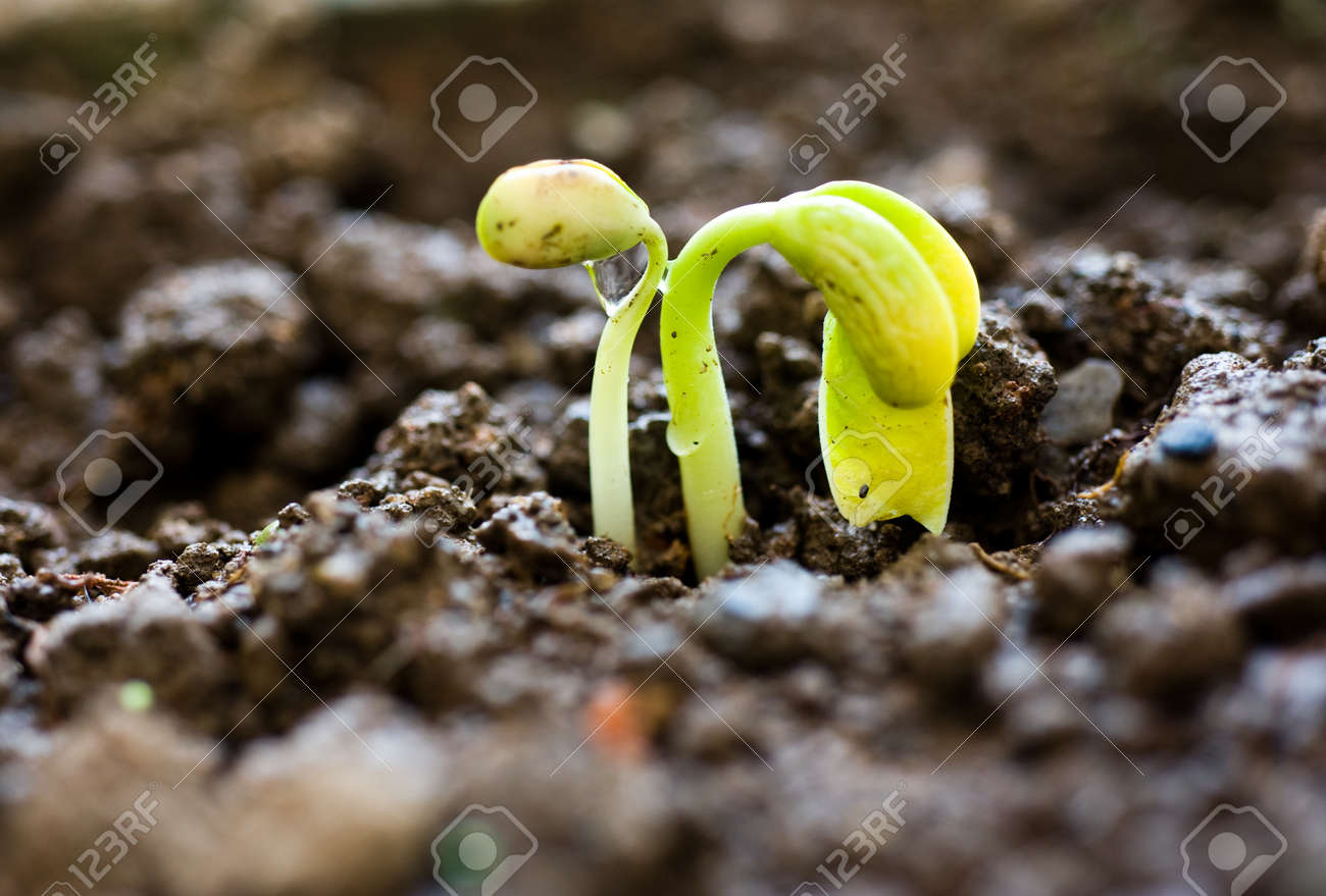 Close-up of seedling of bean growing out of soil Stock Photo - 14176144