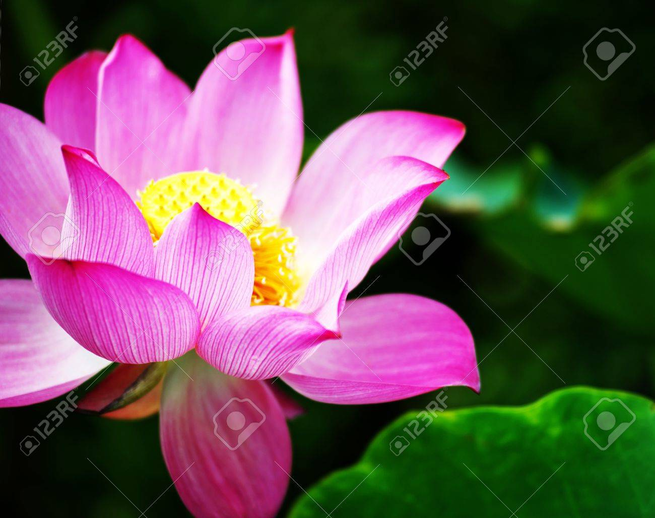 Lotus flower blossom stock photo picture and royalty free image lotus flower blossom stock photo 15731815 izmirmasajfo